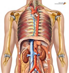 Anatomie - Corpul Uman